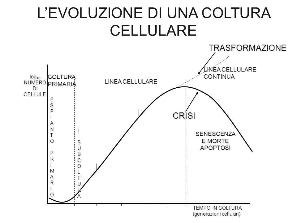 L'EVOLUZIONE DI UNA COLTURA CELLULARE