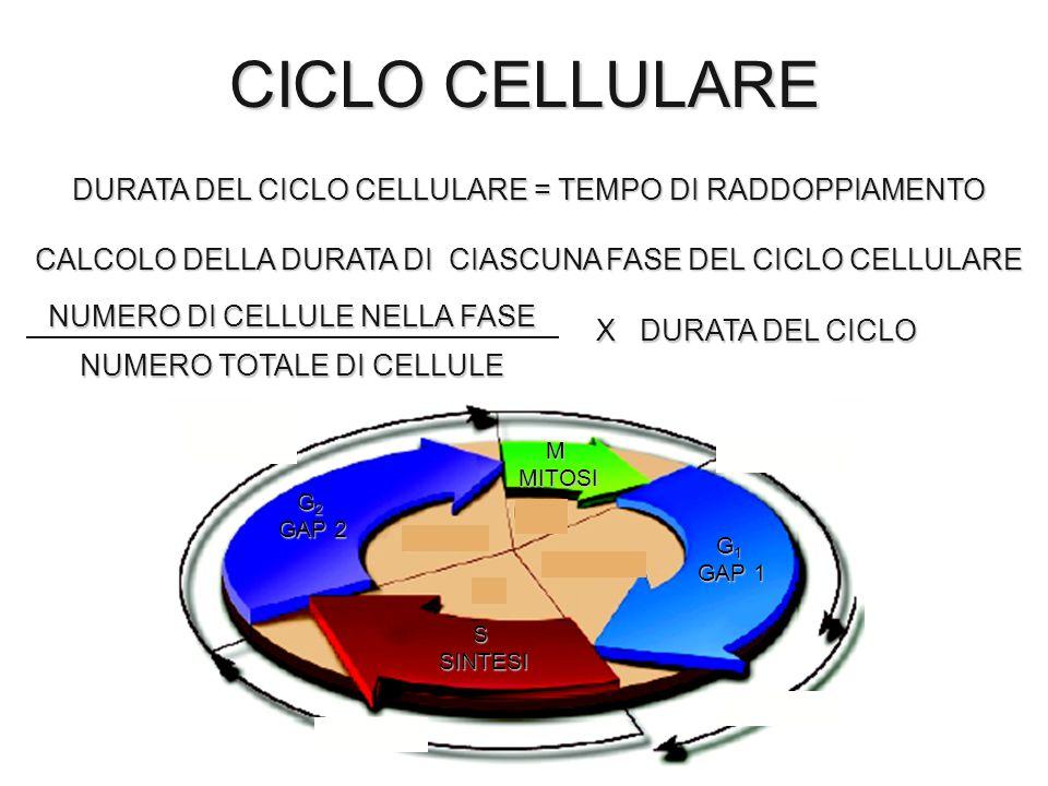 CICLO CELLULARE DURATA DEL CICLO CELLULARE = TEMPO DI RADDOPPIAMENTO