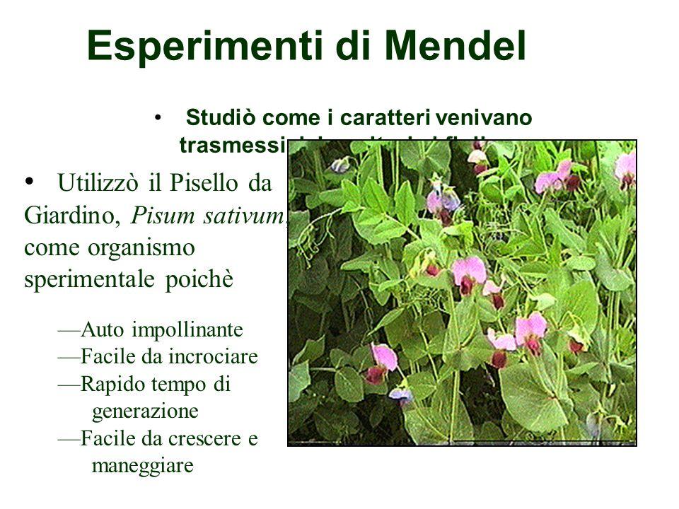 Esperimenti di Mendel Studiò come i caratteri venivano trasmessi dai genitori ai figli.