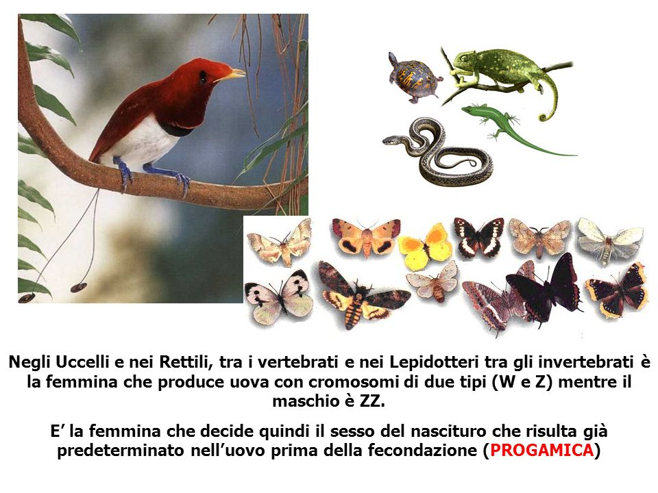 Negli Uccelli e nei Rettili, tra i vertebrati e nei Lepidotteri tra gli invertebrati è la femmina che produce uova con cromosomi di due tipi (W e Z) mentre il maschio è ZZ.