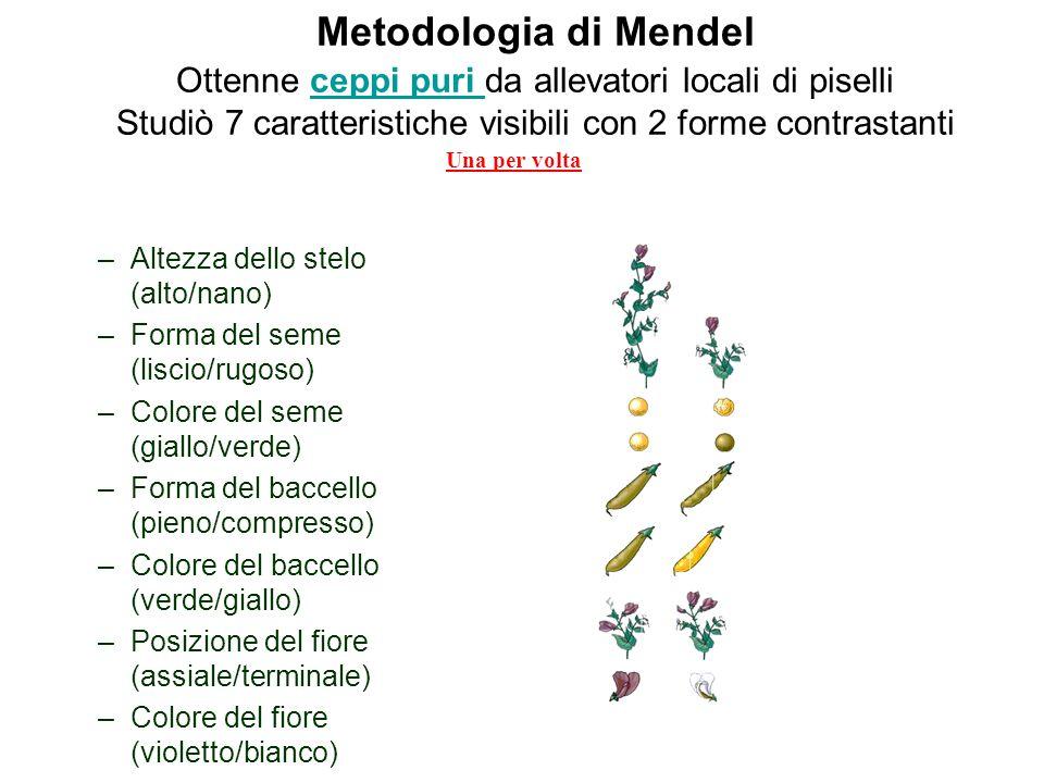 Metodologia di Mendel Ottenne ceppi puri da allevatori locali di piselli Studiò 7 caratteristiche visibili con 2 forme contrastanti