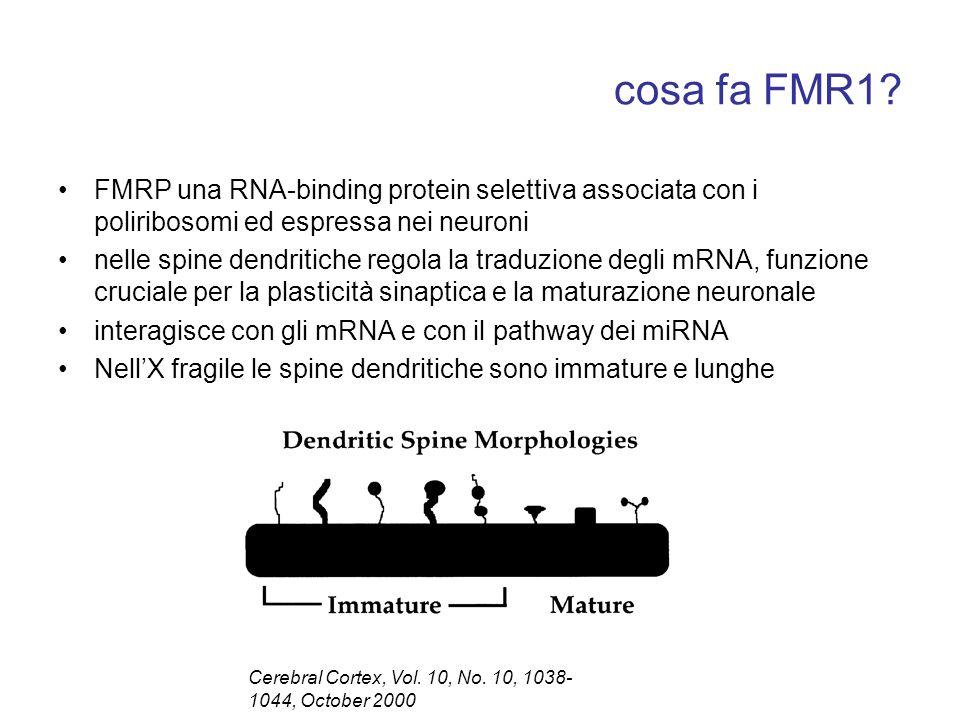 cosa fa FMR1 FMRP una RNA-binding protein selettiva associata con i poliribosomi ed espressa nei neuroni.