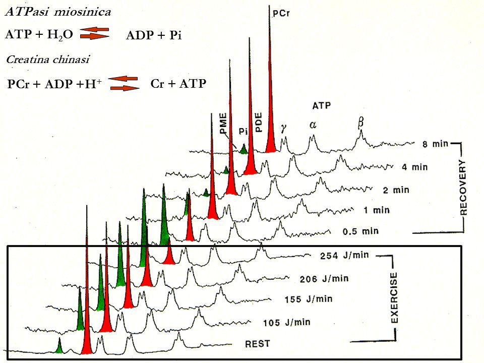 ATPasi miosinica ATP + H2O ADP + Pi PCr + ADP +H+ Cr + ATP