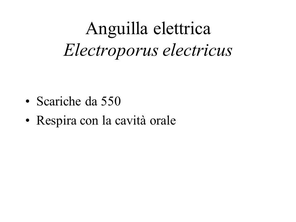 Anguilla elettrica Electroporus electricus
