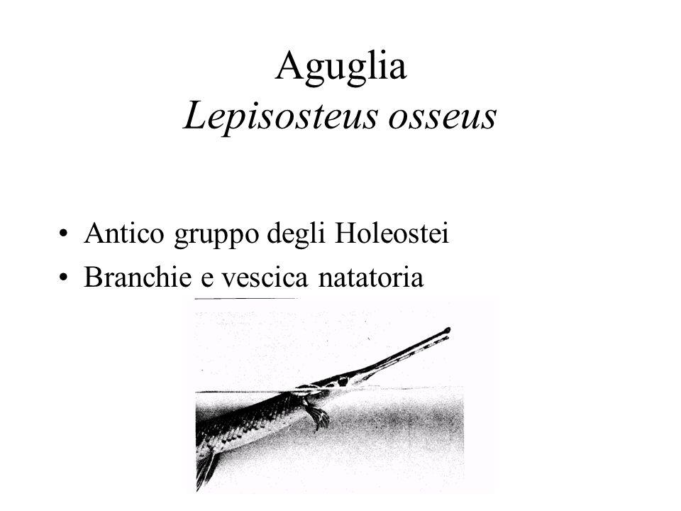 Aguglia Lepisosteus osseus