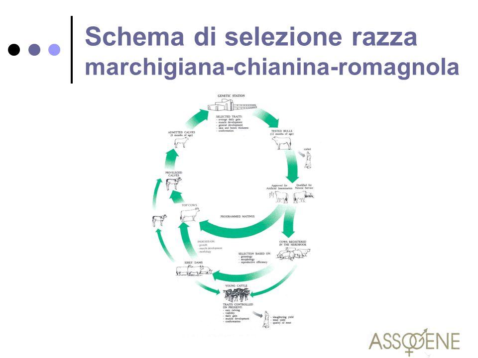 Schema di selezione razza marchigiana-chianina-romagnola
