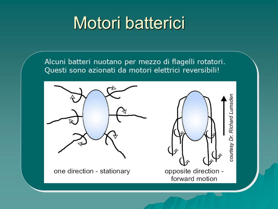 Motori batterici Alcuni batteri nuotano per mezzo di flagelli rotatori.
