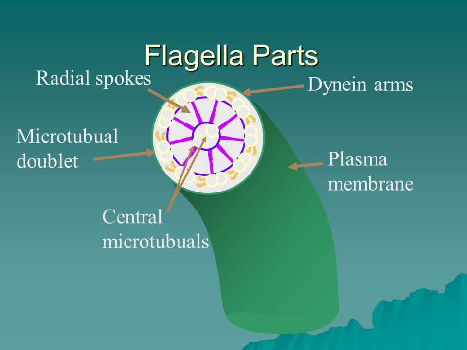 Flagella Parts Radial spokes Dynein arms Microtubual doublet