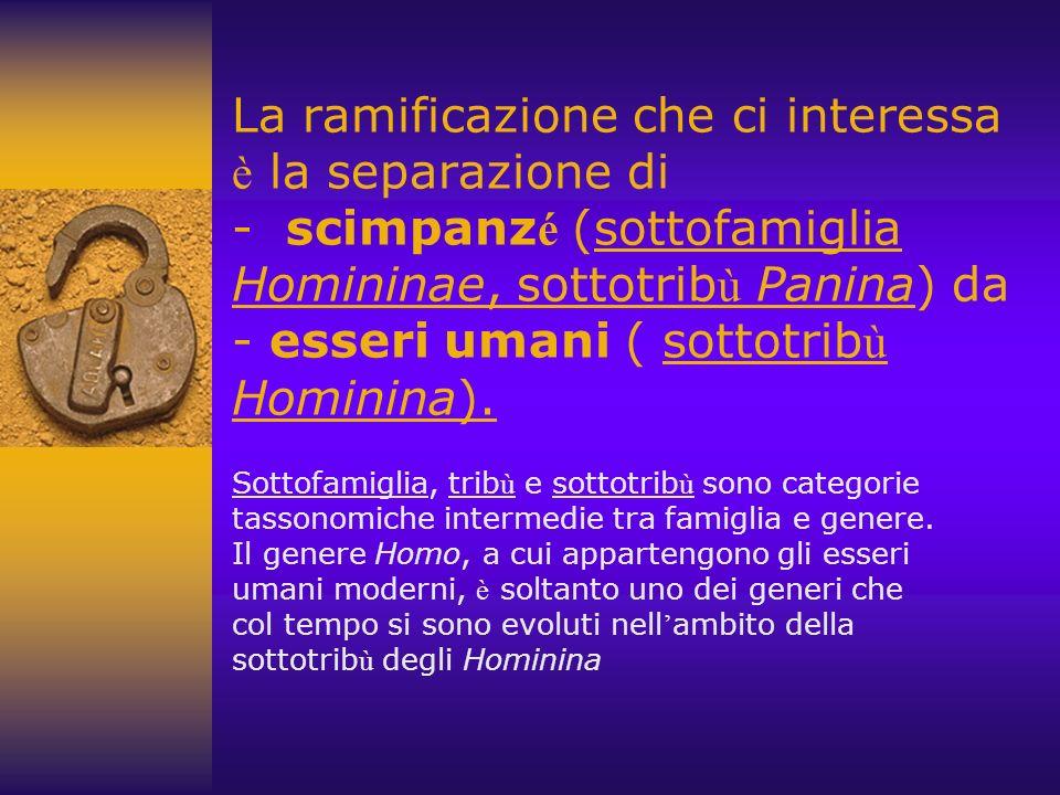 La ramificazione che ci interessa è la separazione di - scimpanzé (sottofamiglia Homininae, sottotribù Panina) da - esseri umani ( sottotribù Hominina).
