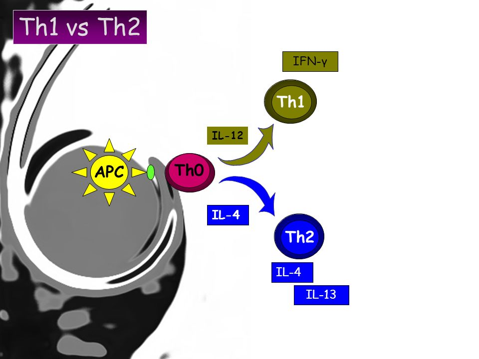 Th1 vs Th2 IFN-γ Th1 IL-12 APC Th0 IL-4 Th2 IL-4 IL-13