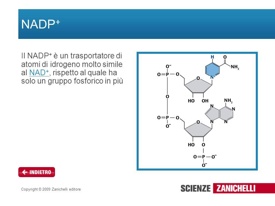 NADP+ Il NADP+ è un trasportatore di atomi di idrogeno molto simile al NAD+, rispetto al quale ha solo un gruppo fosforico in più.