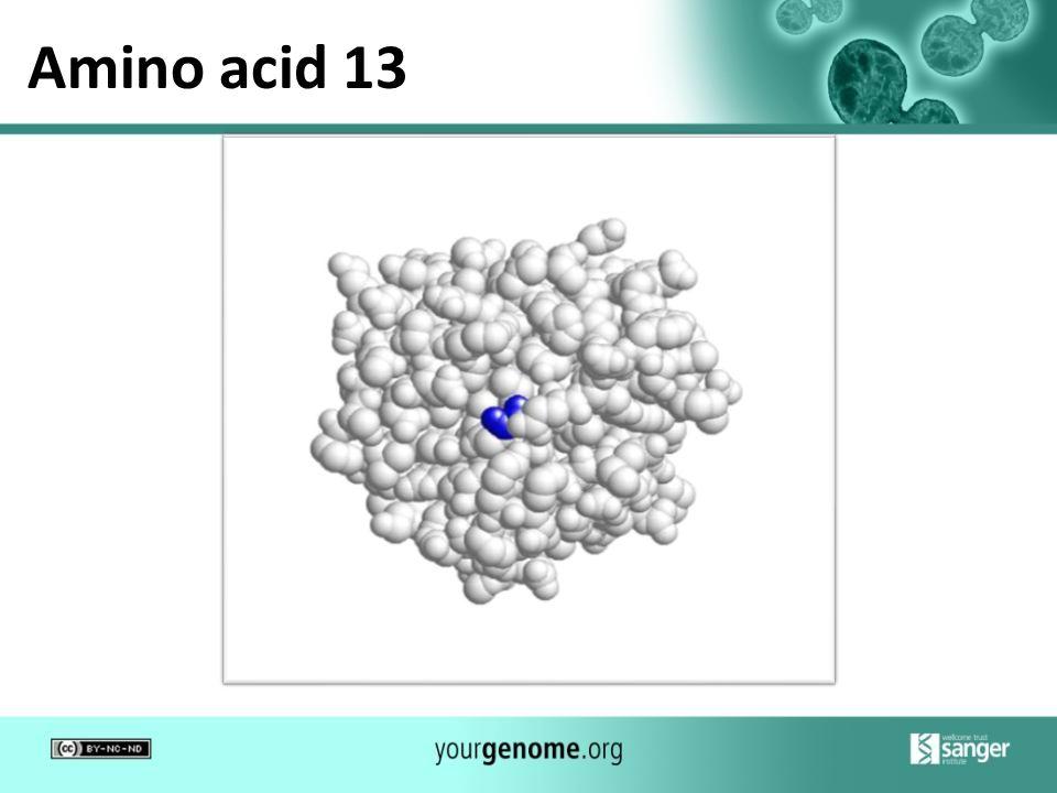 Amino acid 13