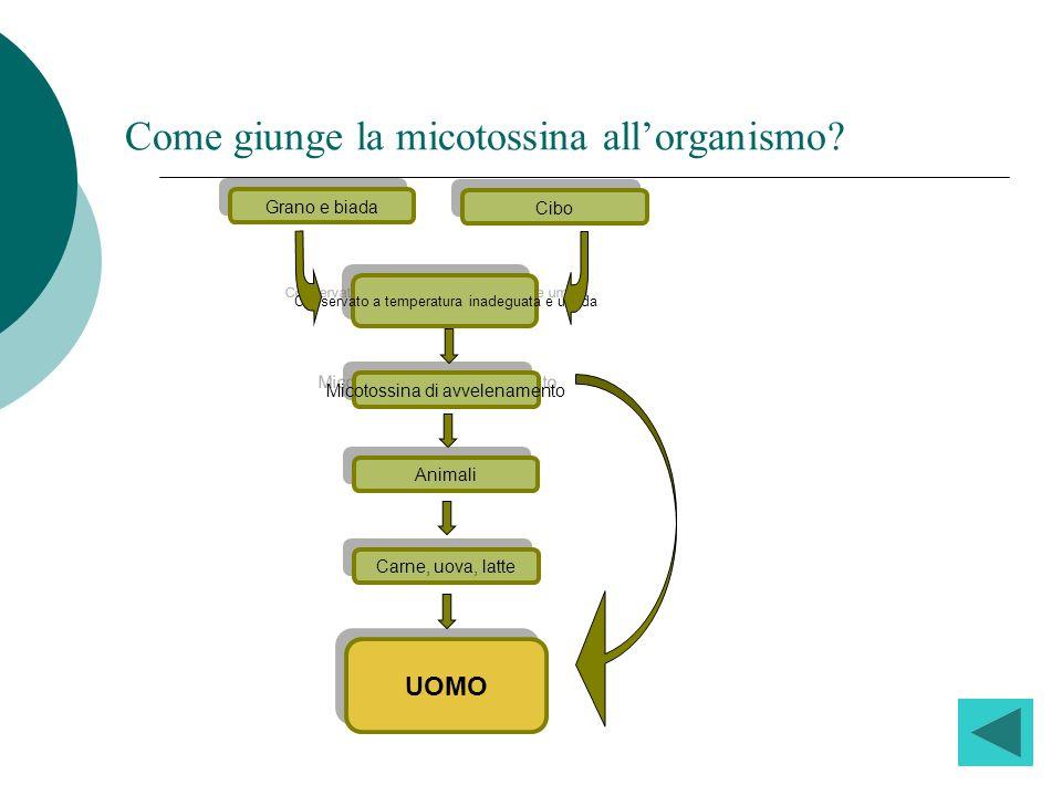 Come giunge la micotossina all'organismo