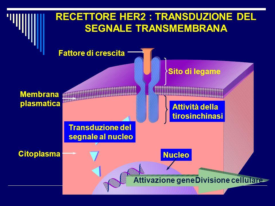 RECETTORE HER2 : TRANSDUZIONE DEL SEGNALE TRANSMEMBRANA