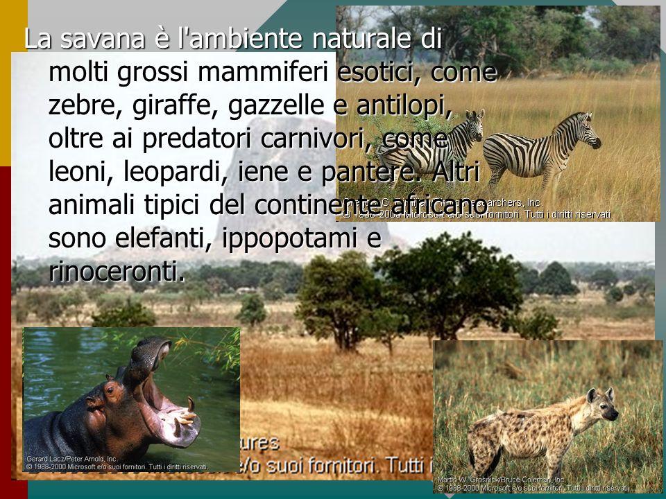La savana è l ambiente naturale di molti grossi mammiferi esotici, come zebre, giraffe, gazzelle e antilopi, oltre ai predatori carnivori, come leoni, leopardi, iene e pantere.