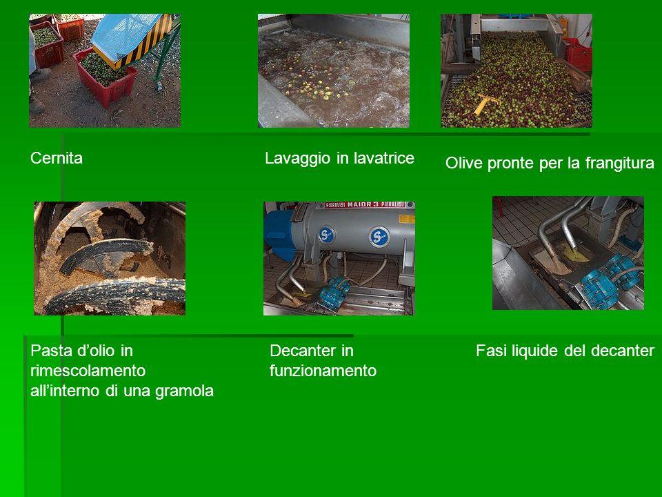 Cernita Lavaggio in lavatrice. Olive pronte per la frangitura. Pasta d'olio in rimescolamento. all'interno di una gramola.