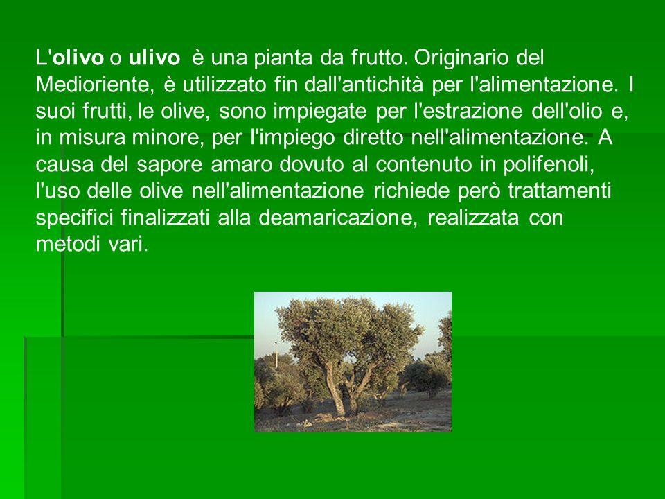 L olivo o ulivo è una pianta da frutto