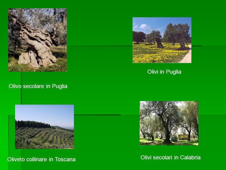 Olivo secolare in Puglia
