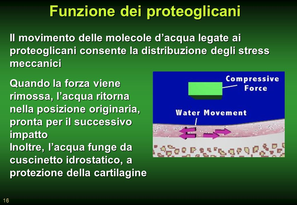 Funzione dei proteoglicani