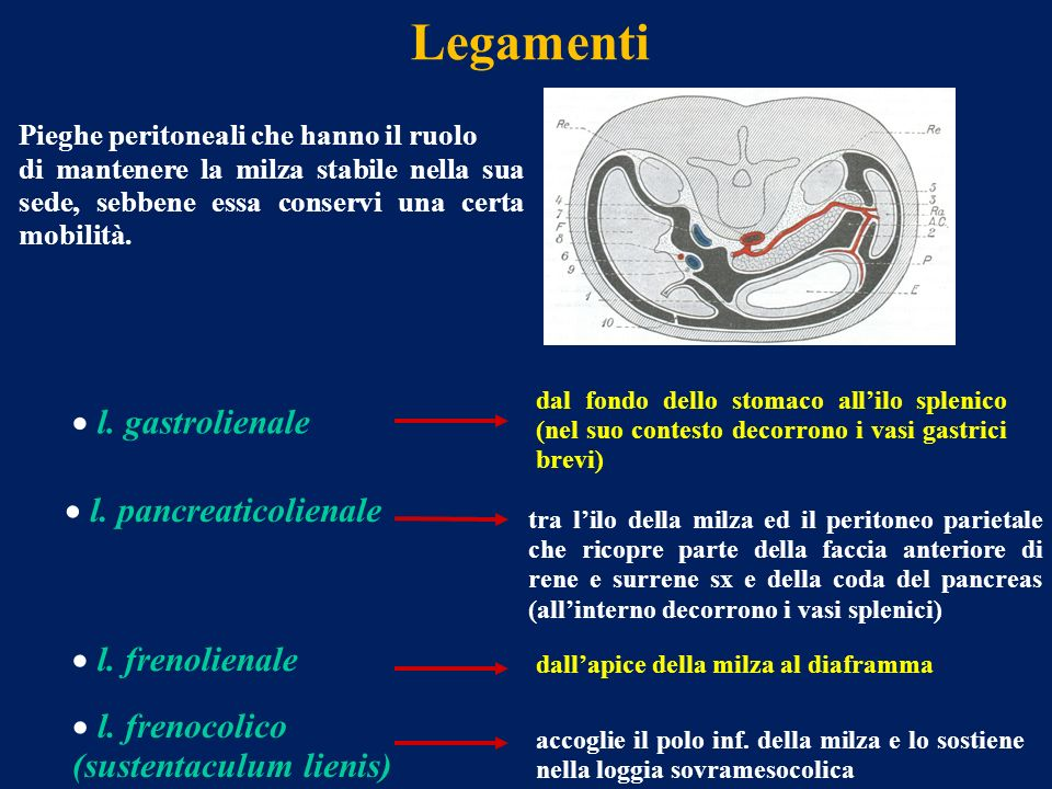 Legamenti l. gastrolienale l. pancreaticolienale l. frenolienale