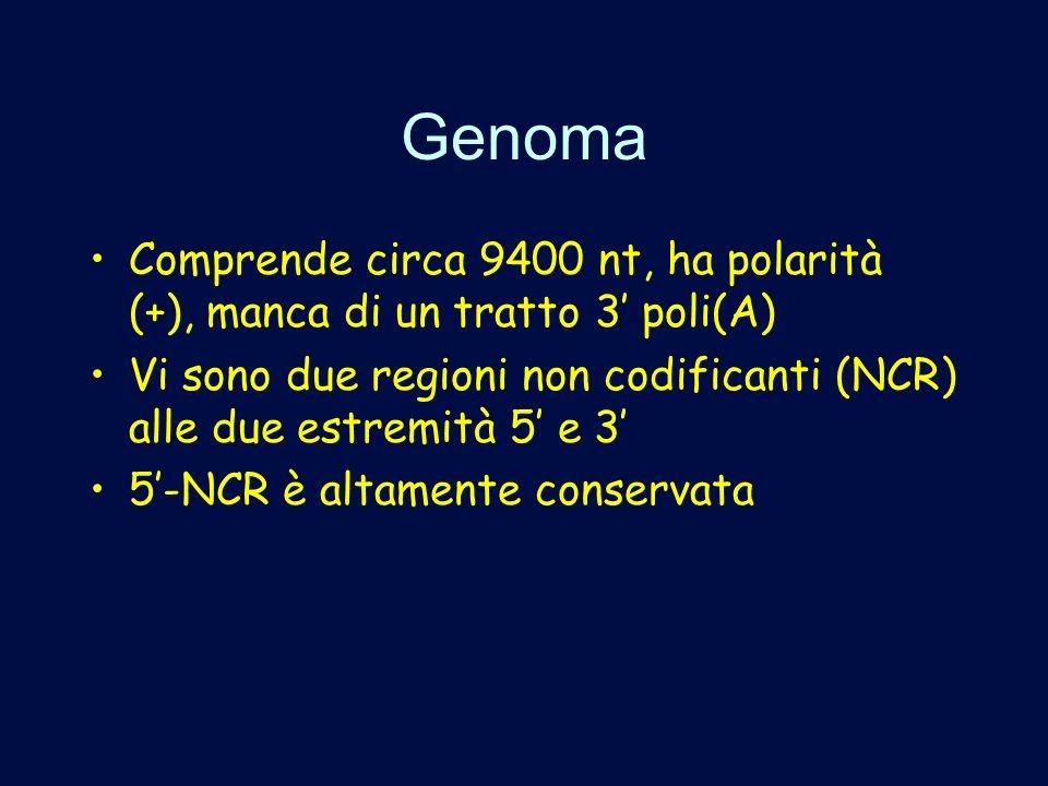 Genoma Comprende circa 9400 nt, ha polarità (+), manca di un tratto 3' poli(A) Vi sono due regioni non codificanti (NCR) alle due estremità 5' e 3'
