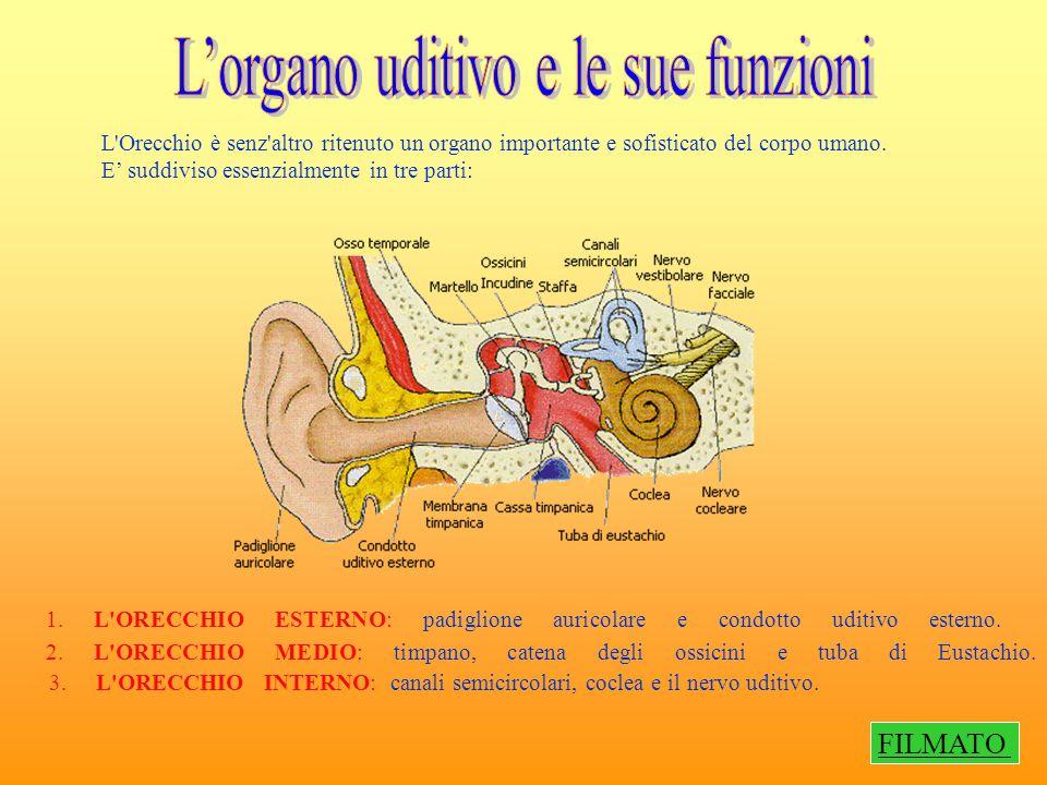 L'organo uditivo e le sue funzioni
