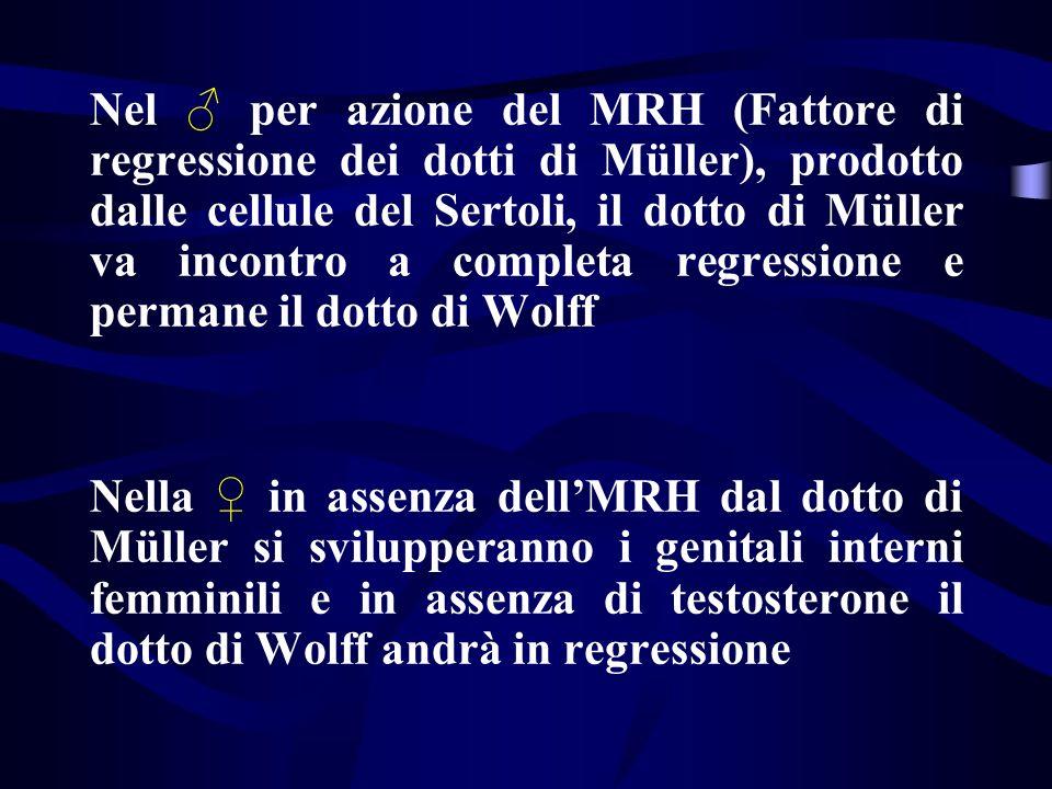 Nel ♂ per azione del MRH (Fattore di regressione dei dotti di Müller), prodotto dalle cellule del Sertoli, il dotto di Müller va incontro a completa regressione e permane il dotto di Wolff