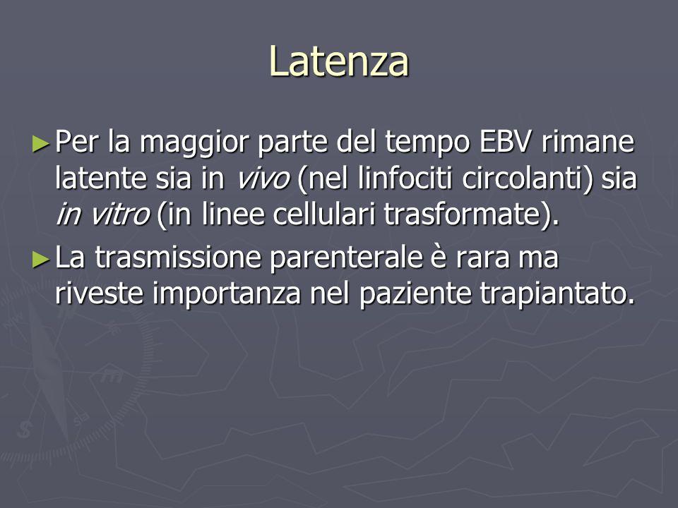 Latenza Per la maggior parte del tempo EBV rimane latente sia in vivo (nel linfociti circolanti) sia in vitro (in linee cellulari trasformate).