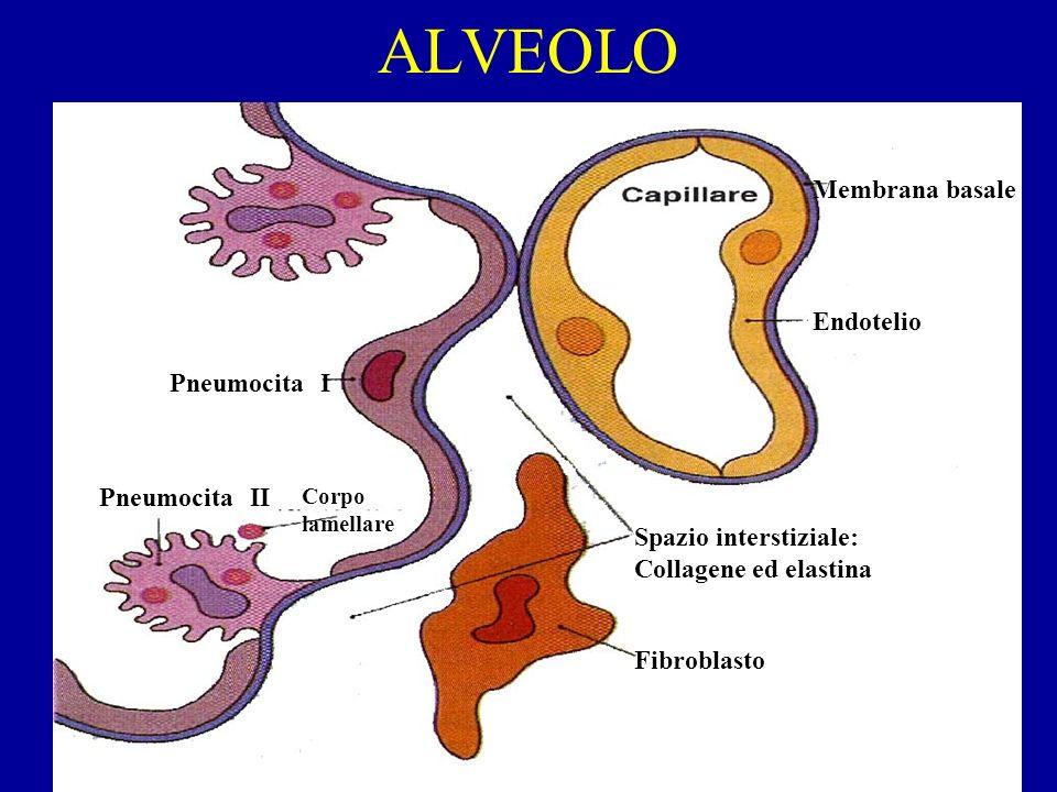 ALVEOLO Membrana basale Endotelio Pneumocita I Pneumocita II