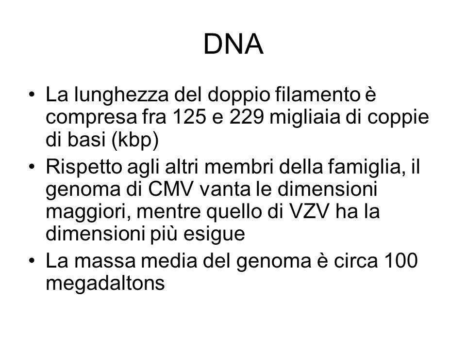 DNA La lunghezza del doppio filamento è compresa fra 125 e 229 migliaia di coppie di basi (kbp)