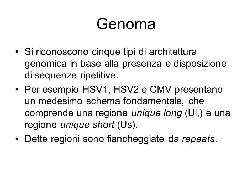 Genoma Si riconoscono cinque tipi di architettura genomica in base alla presenza e disposizione di sequenze ripetitive.