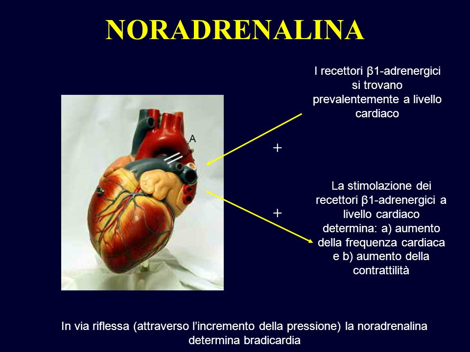 NORADRENALINA I recettori β1-adrenergici si trovano prevalentemente a livello cardiaco. +