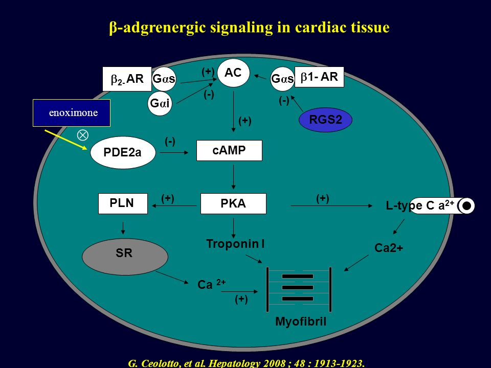 β-adgrenergic signaling in cardiac tissue