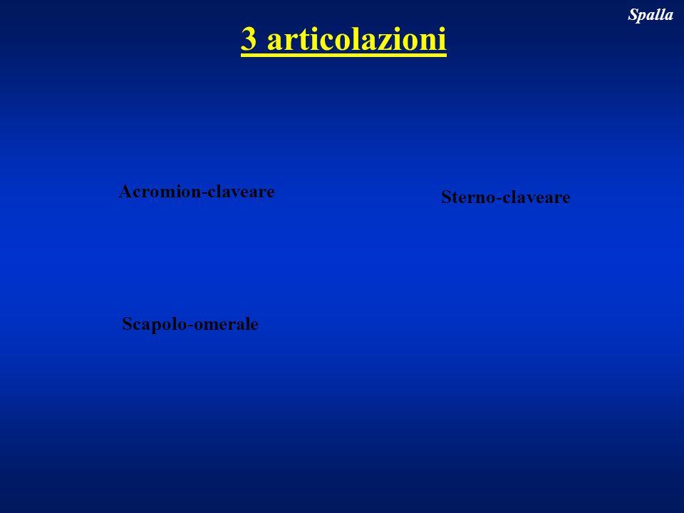 3 articolazioni Acromion-claveare Sterno-claveare Scapolo-omerale