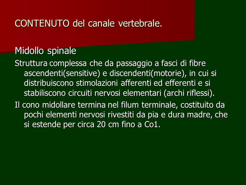 CONTENUTO del canale vertebrale.