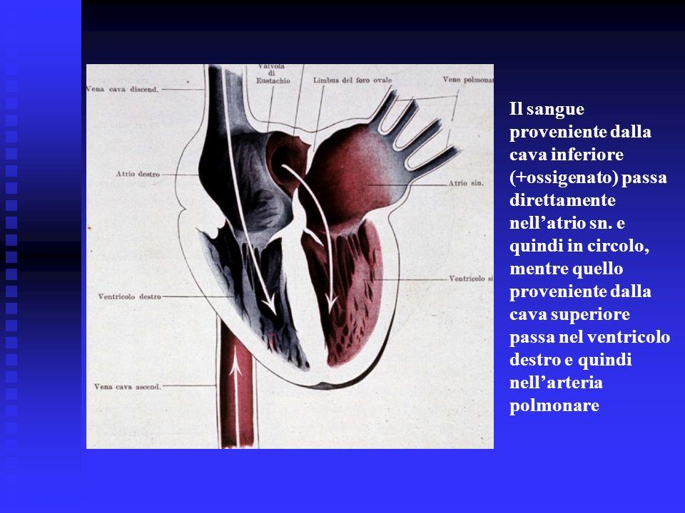 Il sangue proveniente dalla cava inferiore (+ossigenato) passa direttamente nell'atrio sn.