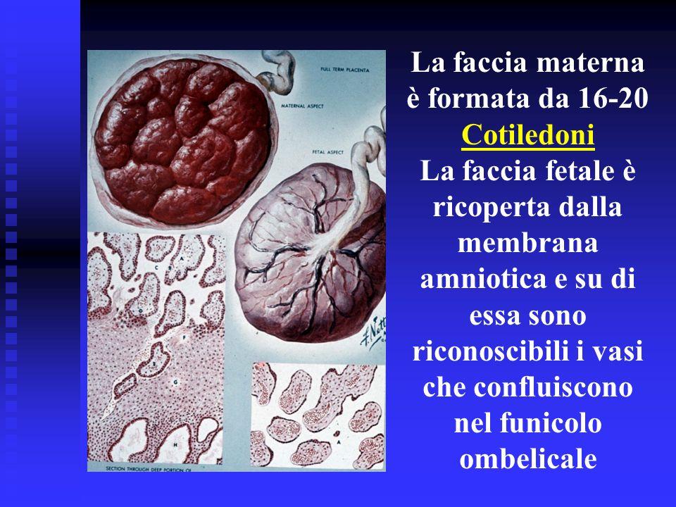 La faccia materna è formata da 16-20. Cotiledoni. La faccia fetale è. ricoperta dalla.