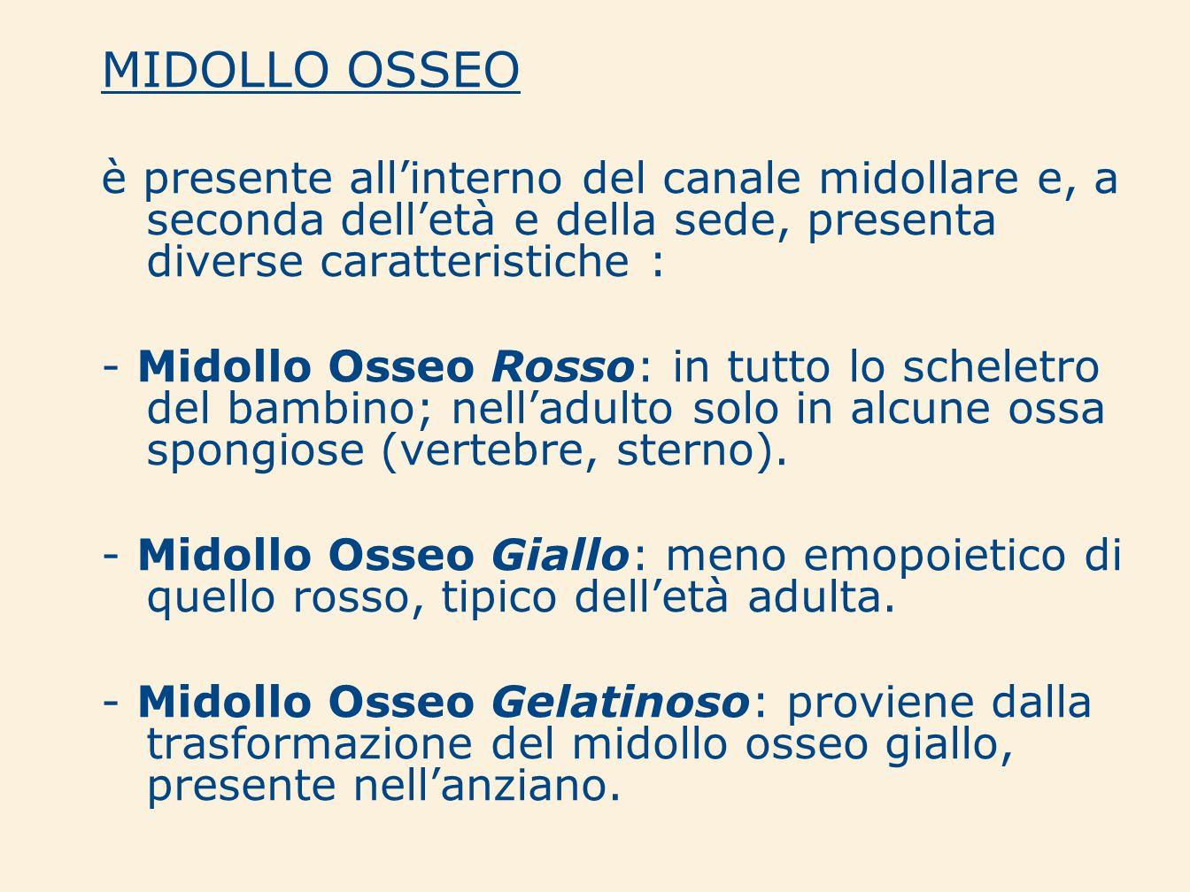 MIDOLLO OSSEOè presente all'interno del canale midollare e, a seconda dell'età e della sede, presenta diverse caratteristiche :