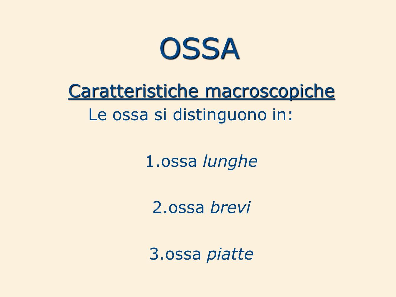 OSSA Caratteristiche macroscopiche Le ossa si distinguono in: