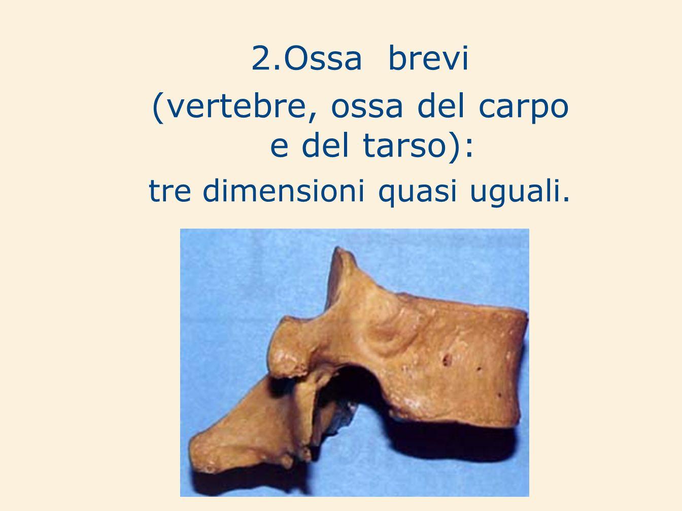 (vertebre, ossa del carpo e del tarso):