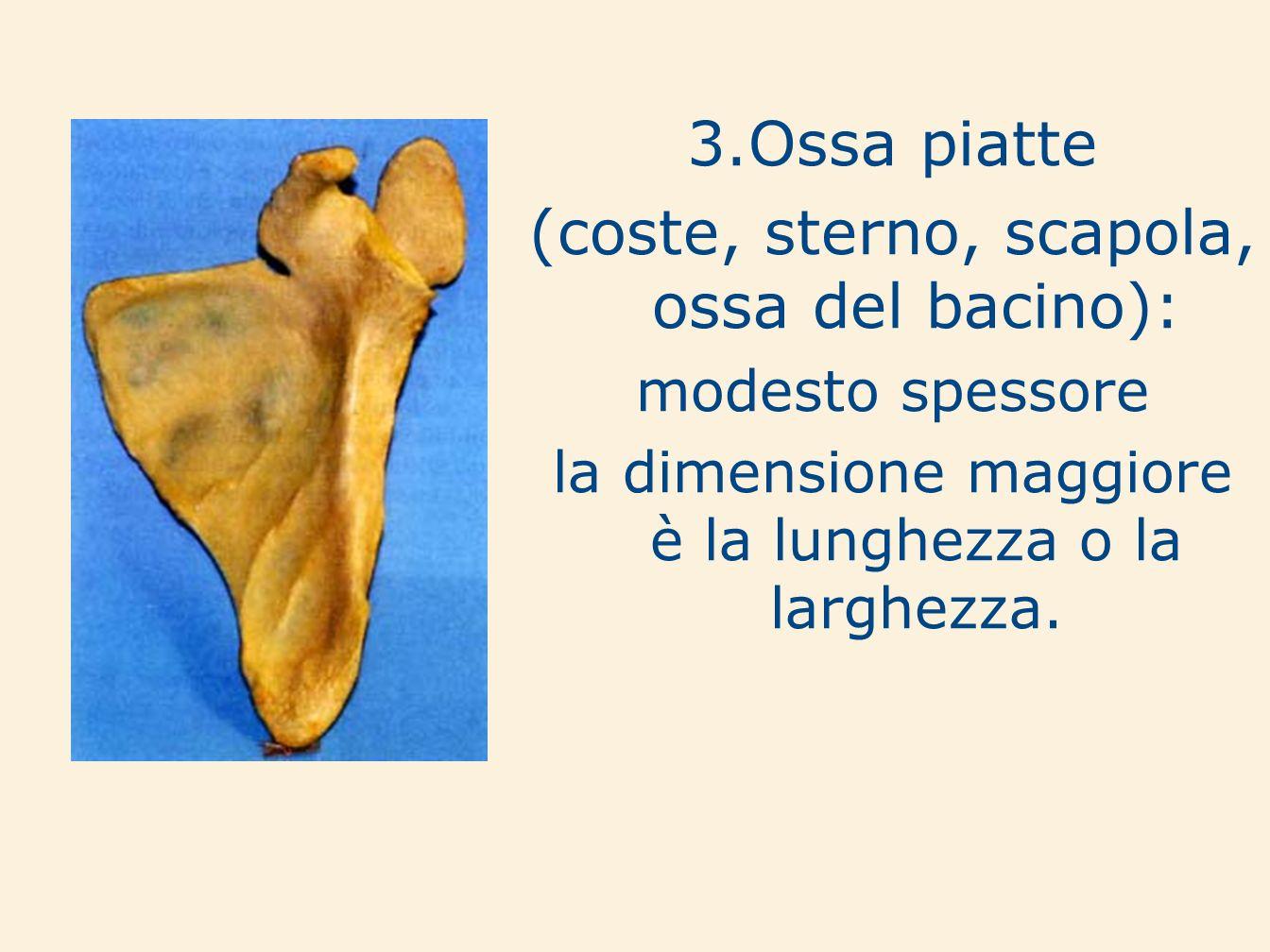 (coste, sterno, scapola, ossa del bacino):
