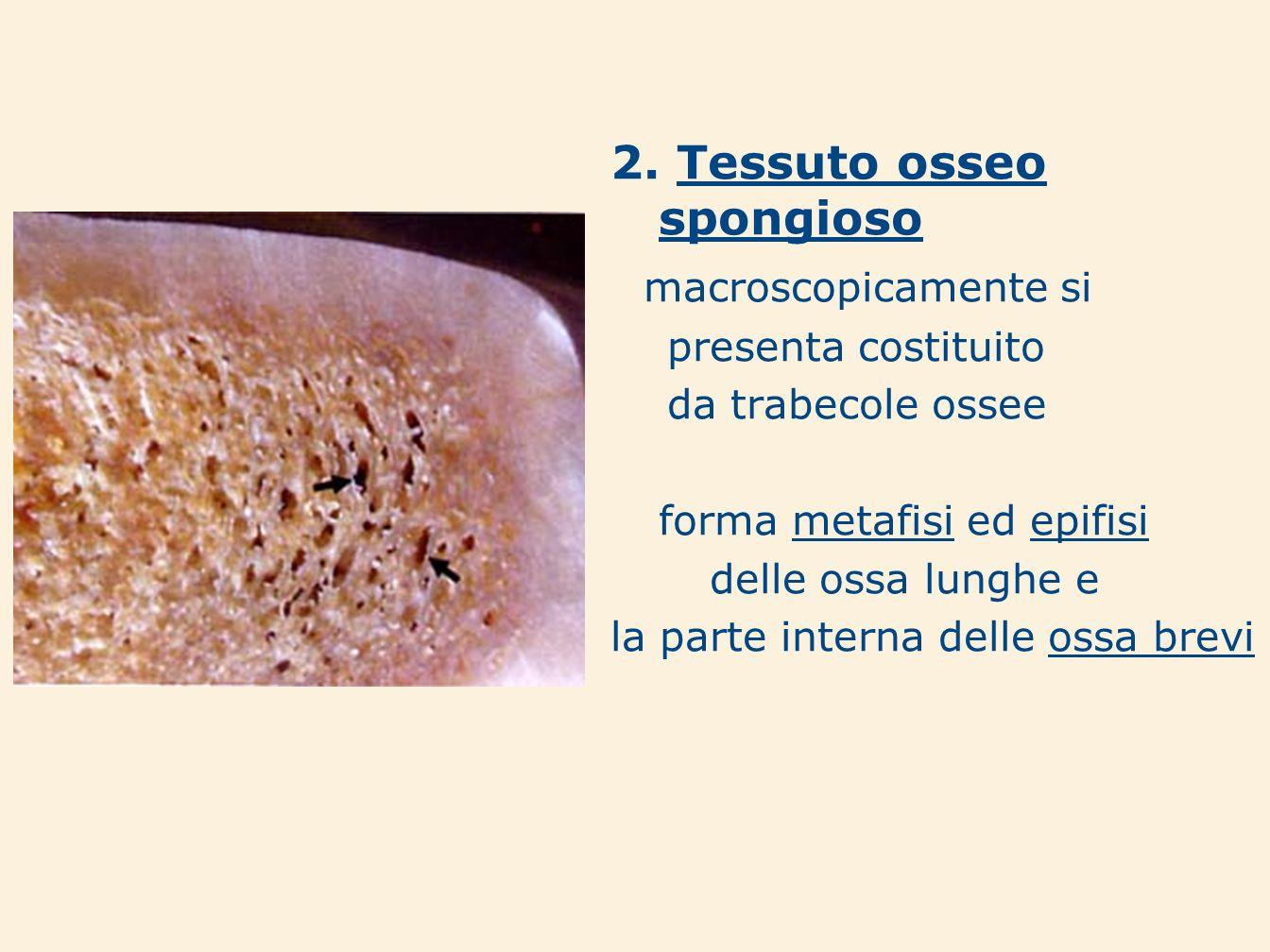 2. Tessuto osseo spongioso macroscopicamente si