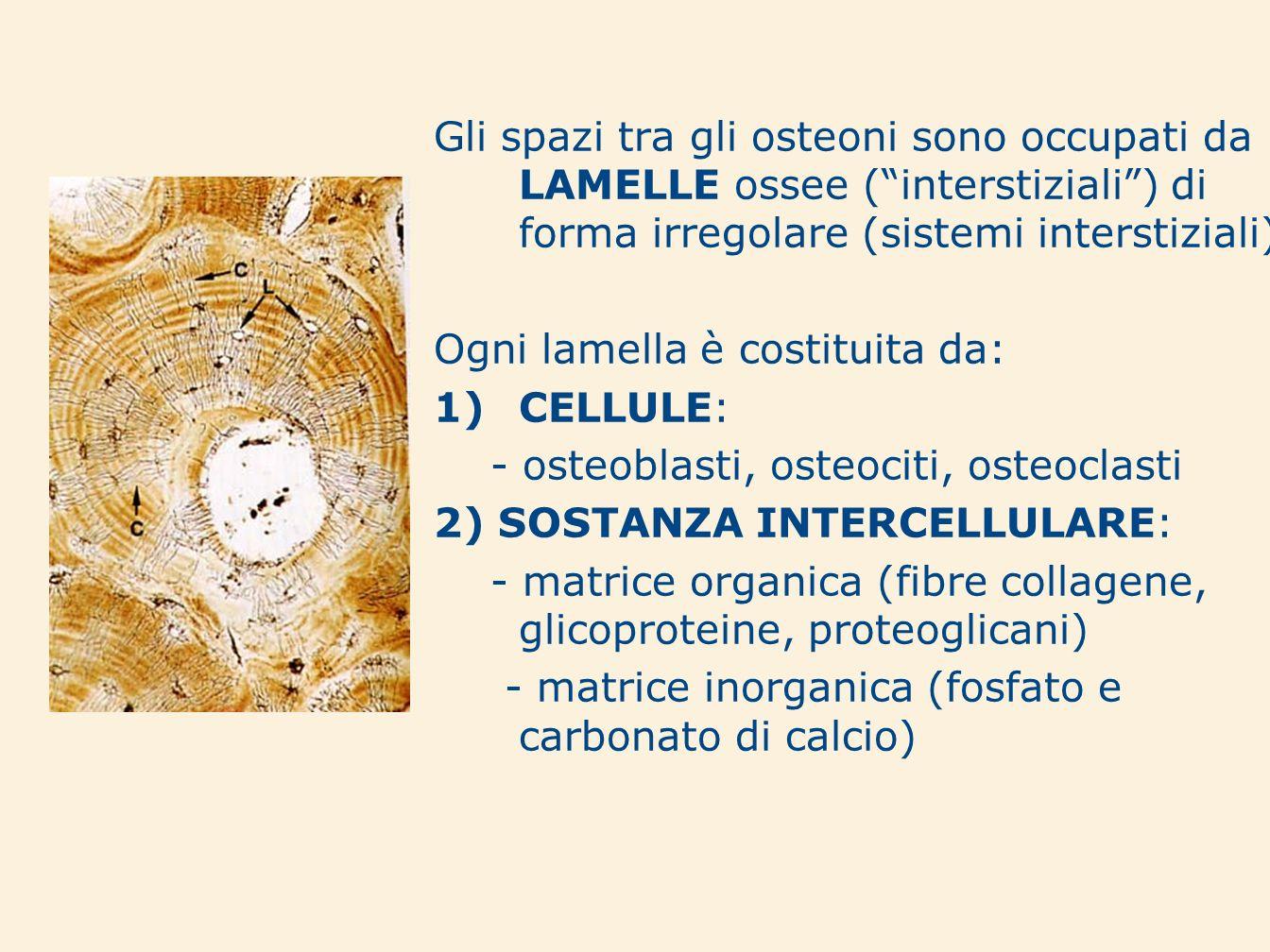 Gli spazi tra gli osteoni sono occupati da LAMELLE ossee ( interstiziali ) di forma irregolare (sistemi interstiziali)