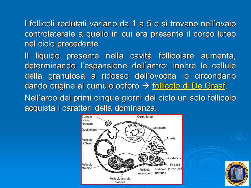 I follicoli reclutati variano da 1 a 5 e si trovano nell'ovaio controlaterale a quello in cui era presente il corpo luteo nel ciclo precedente.