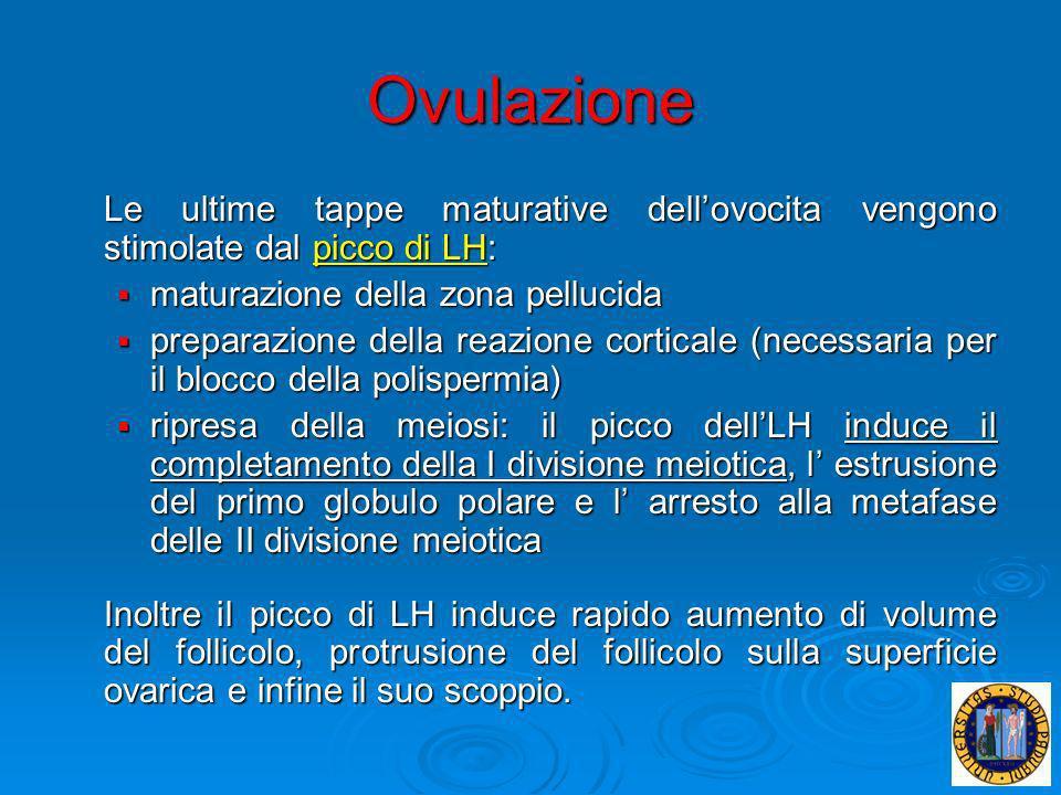 Ovulazione Le ultime tappe maturative dell'ovocita vengono stimolate dal picco di LH: maturazione della zona pellucida.
