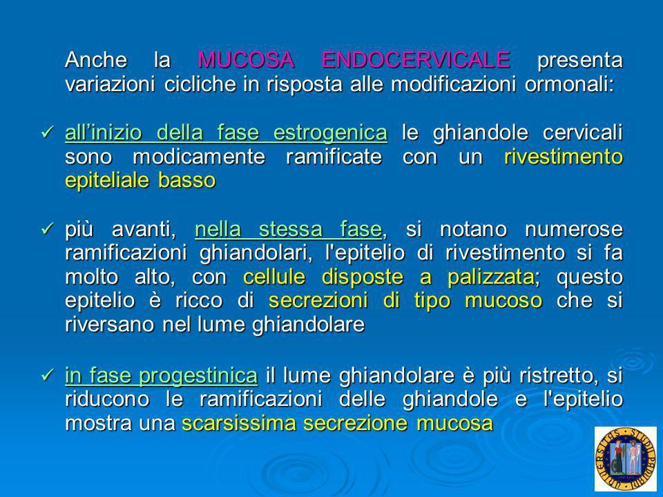 Anche la MUCOSA ENDOCERVICALE presenta variazioni cicliche in risposta alle modificazioni ormonali: