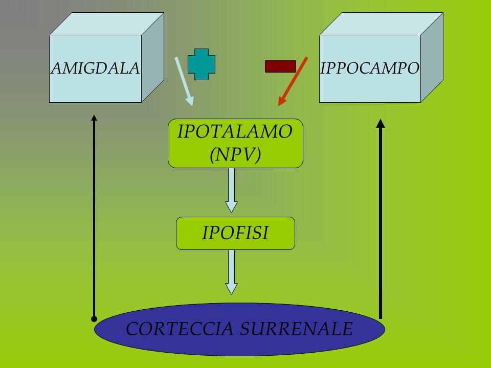 AMIGDALA IPPOCAMPO IPOTALAMO (NPV) IPOFISI CORTECCIA SURRENALE