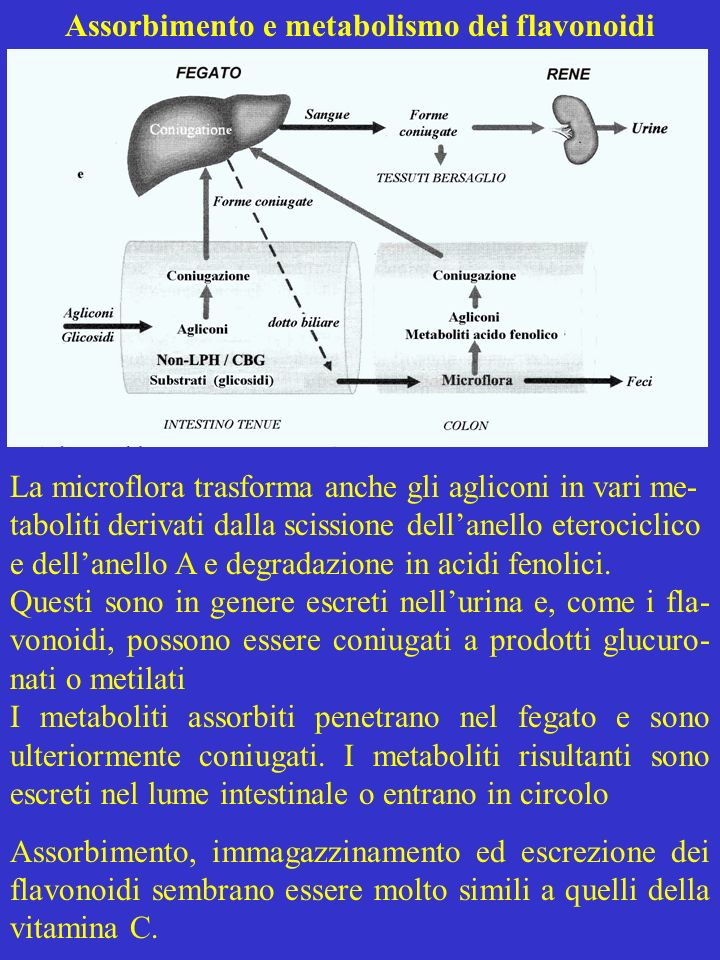 Assorbimento e metabolismo dei flavonoidi