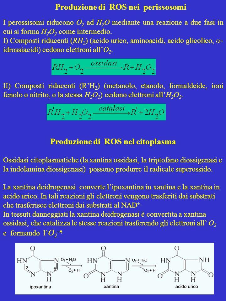 Produzione di ROS nei perissosomi