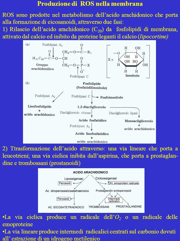 Produzione di ROS nella membrana